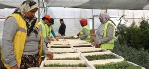 Akdeniz fidanlığında 150 bin adet çiçek üretildi