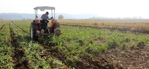 Iğdır'da şeker pancarı hasadı