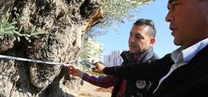 6 metre çapındaki bin 500 yıllık zeytin ağacı görenlerin ilgi odağı oluyor