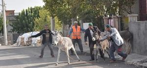 Dargeçit'te başı boş hayvanlar sokaklardan toplandı