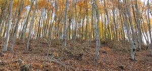 Osmaniye'de meşe ve kayın ormanları bakıma alındı