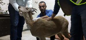 Tunceli'de hasta yaban keçisi tedavi altına alındı