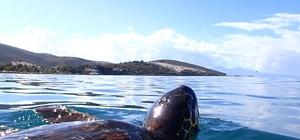 Deniz kaplumbağalarını korumak için tabela dikildi