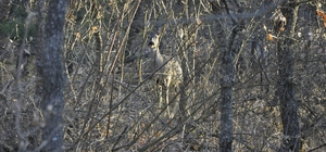 Kargı'da yaban hayvanlarının sayısı artıyor