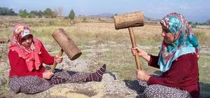 Hassa'da çeltik hasadı