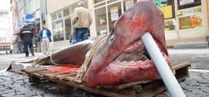 Lüleburgaz'da yarım tonluk köpek balığı görenleri şaşırttı