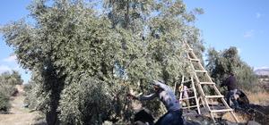 Mersin'de zeytin üreticisinin yüzü gülüyor