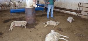 Aydın'da 25 koyunun telef edildiği iddiası