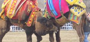 Ege, Akdeniz ve Marmara'nın pehlivan develeri sahaya indi