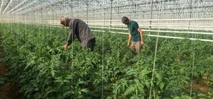 İslahiye MYO Organik Tarım öğrencileri serada domates yetiştiriyor