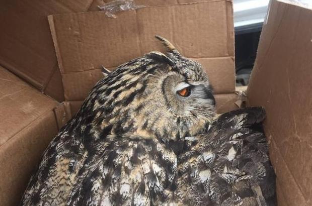 Paralı puhu kuşu tedavi altına alındı