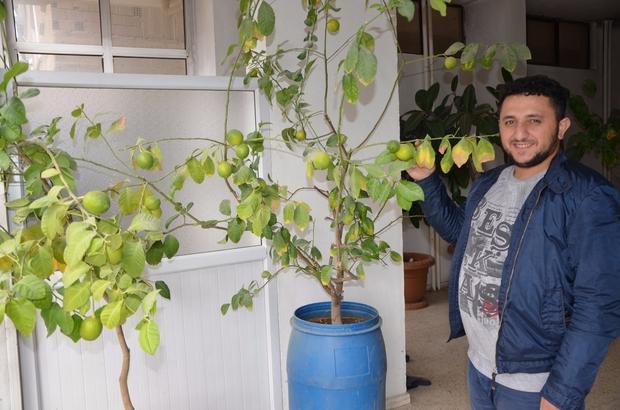 Hakkarili esnaf saksıda limon yetiştirdi
