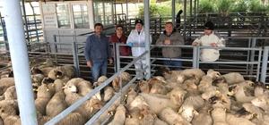 Edirne'de 39 genç çiftçiye bin 443 adet küçükbaş hibe edildi