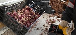 Güngören'de 350 bin adet lale ve sümbül soğanı dikildi