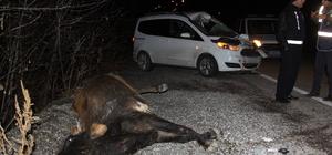 Otomobilin çarptığı inek aracın camından içeri girdi