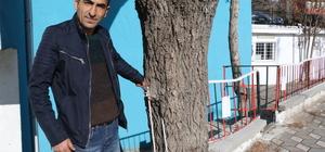 """""""Demir parmaklıklı"""" söğüt ağacı"""