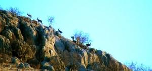 Adıyaman'da yaban keçilerinin envanteri çıkartıldı