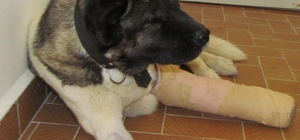 Yaralı köpek Samsun'da tedavi ettirildi