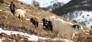 Besiciler karlı dağlarda hayvanlarını besliyor