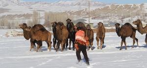 Dondurucu soğukta güreşçi develere idman