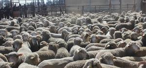 Bin 295 baş Küçükbaş koyun dağıtıldı