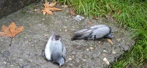 Niksar'da şüpheli kuş ölümleri