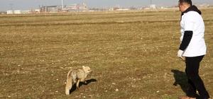 Muş'ta tedavi edilen tilki doğaya salındı