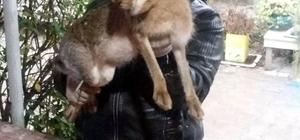 Hersek lagününde dev yaban tavşanı yakalandı