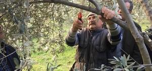 Sarıgöl'deki zeytin üreticilerine budama eğitimi