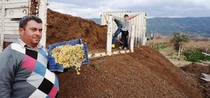 Sarıgöl'ün üzüm bağlarında doğal gübre kullanılıyor