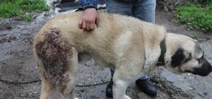 Şehre inen domuz sürüsü köpeğe saldırdı