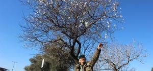 Aydın'da beklenene soğuklar gelmeyince bademler çiçek açtı