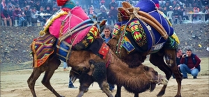 Buldan deve güreşlerine hazırlanıyor