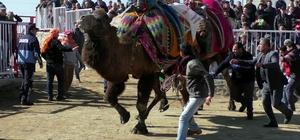 Pehlivan develer kozlarını Nazilli'de paylaştı