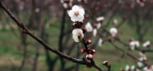 Mersin'de kayısı ağaçları erken çiçek açtı