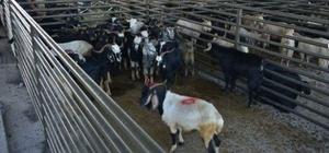 Aslanapa'da hayvan pazarının ihalesi yapıldı