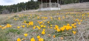 Gölcük Yaylası'nda baharın müjdecisi çiğdemler bu yıl erken açtı