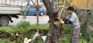 Kepez Belediyesi kentsel dönüşüm alanndaki ağaçları taşıyor