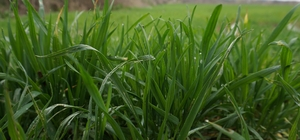 """Yağışlar hasat için """"umut"""" oldu"""