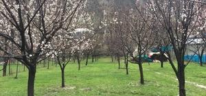 Beytüşşebap'ta dolu yağışı çiçek açan ağaçları vurdu