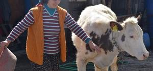 3 çocuk annesi, devletin verdiği 6 inekle ailesini geçindiriyor