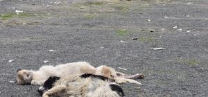 Çorlu'da 5 köpek ölü bulundu