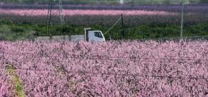Bodrum'da şeftali ağaçları çiçek açtı