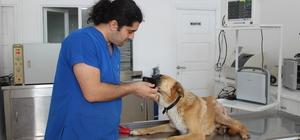 Ayvalık'ta tüfekle vurulan köpek tedavi edildi