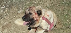 Köpek dövüşü yaptıranlara Oltu polisi suçüstü yaptı
