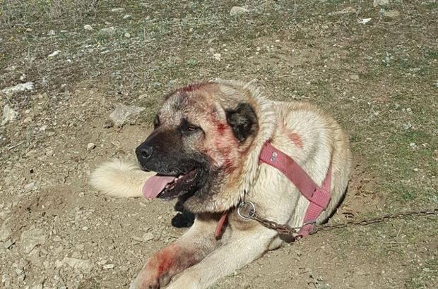 Köpek dövüşü yaptıranlara oltu polisi suçüstü yaptı - Erzurum Haberleri