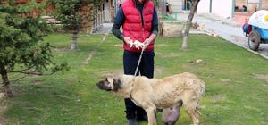Sokak köpeğinin memesinden 2 kilogramlık kitle çıkarıldı