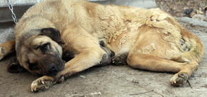 Sokak köpeğinden 2 kiloluk kitle alındı