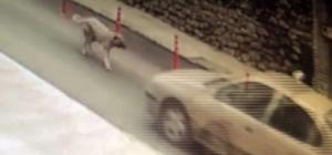 Köpeğe çarpıp kaçan resmi plakalı aracın sürücüsüne soruşturma açıldı