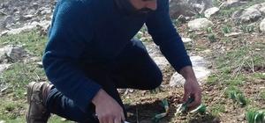 Dağlardan toplanan 'gülbahar' bitkisi ekonomik kazanca dönüşüyor